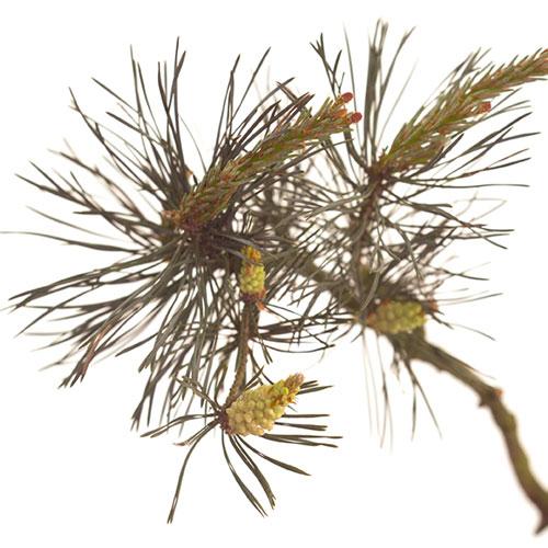 Foto Pine