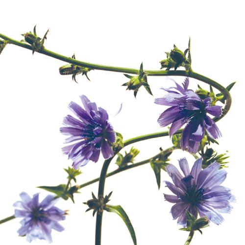 Foto Chicory