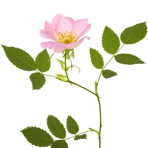 Foto Wild Rose